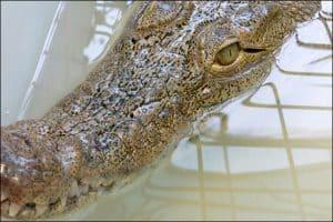 محیط زیست تهران: تمساح مرکز خرید غرب تهران «غیر بومی» است